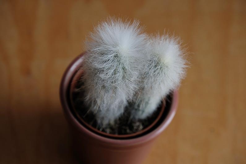 UJB-zoom_fuzzy-cactus1
