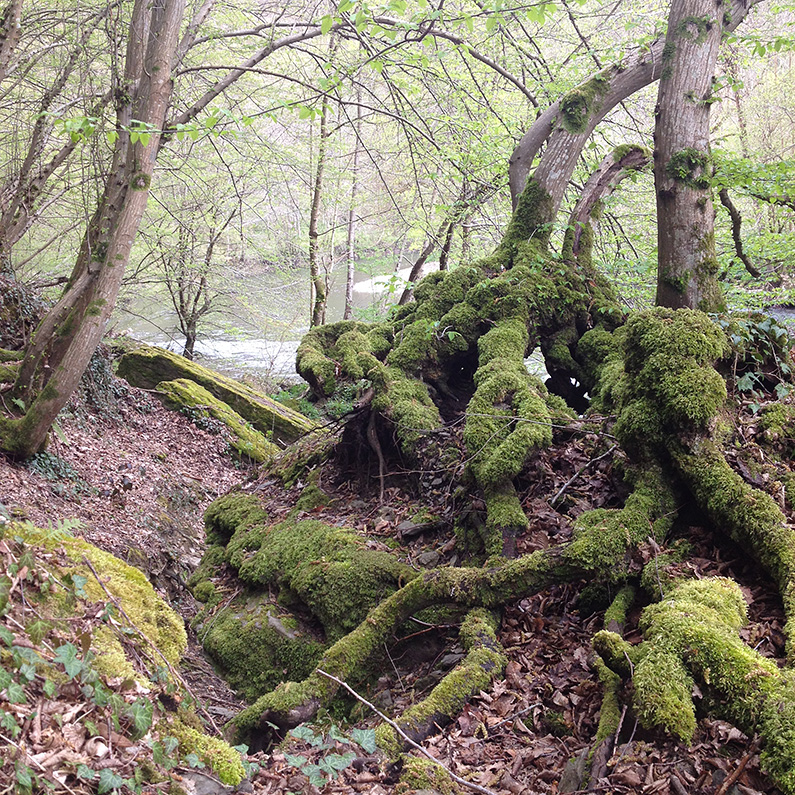 Belgian-Ardennes_mossy-roots